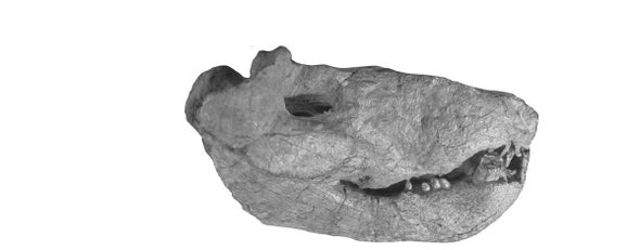 Paleo Profile: The Small Whaitsiid