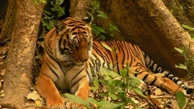 Tigers Extinct in Laos