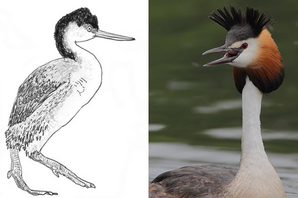 Plight of the Flightless Grebes