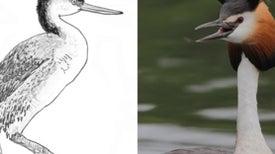 Plight of the Flightless Grebes
