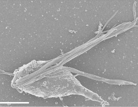 New Octopus-like Protists in Termite Guts Named for HP Lovecraft Cosmic Monster 'Cthulhu'