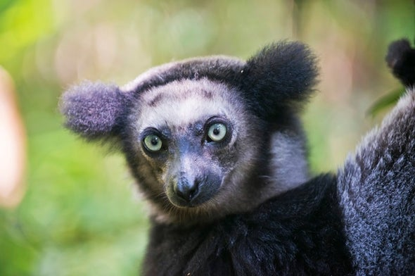 Lemurs in Crisis: 105 Species Now Threatened with Extinction