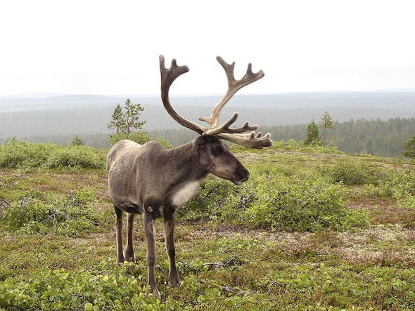 How Rudolph Grew His Antlers
