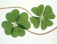 No, A Shamrock Won't Bring You Luck