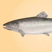 To Every Scam There Is a Season: Report Shows Salmon Fraud Prevalent in Winter