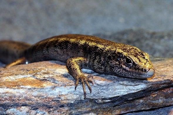 """""""A Complete Enigma""""—New Zealand Lizard Declared Extinct 130 Years After Only Sighting"""