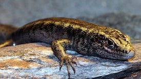 """A Complete Enigma""--New Zealand Lizard Declared Extinct 130 Years after Only Sighting"