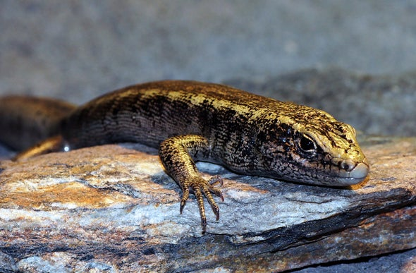 """A Complete Enigma""—New Zealand Lizard Declared Extinct 130 Years After Only Sighting"