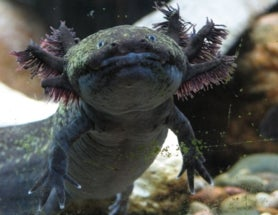 Sunday Species Snapshot: Did the Axolotl Just Go Extinct?