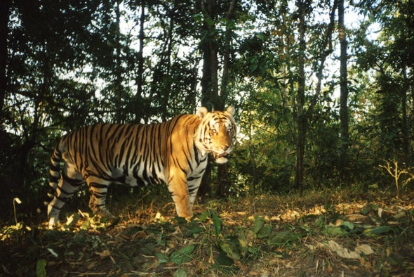Tigers Have Just 1 Safe Habitat in Southeast Asia