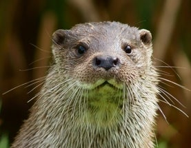Asian Otters Are the Latest Victims of the Illegal Pet and Fur Trades