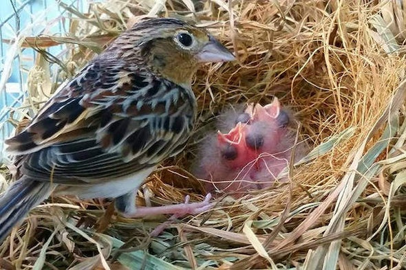 Is This the Year the Florida Grasshopper Sparrow Goes Extinct?