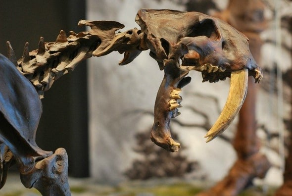 Fighting Saber-Toothed Cats Bit Each Other on the Face