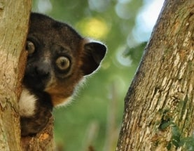Look Out Lemurs: Climate Change Is Taking Your Land