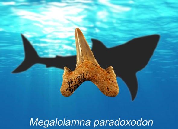 Paleo Profile: The Paradoxical Mega Shark