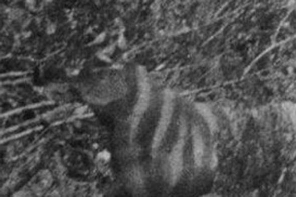 The Ozenkadnook Tiger Photo Revealed as a Hoax