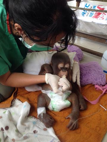 Rescued Baby Orangutan Shines Light On Cruel Illegal Pet