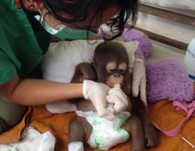 Rescued Baby Orangutan Shines Light on Cruel, Illegal Pet Trade [Video]