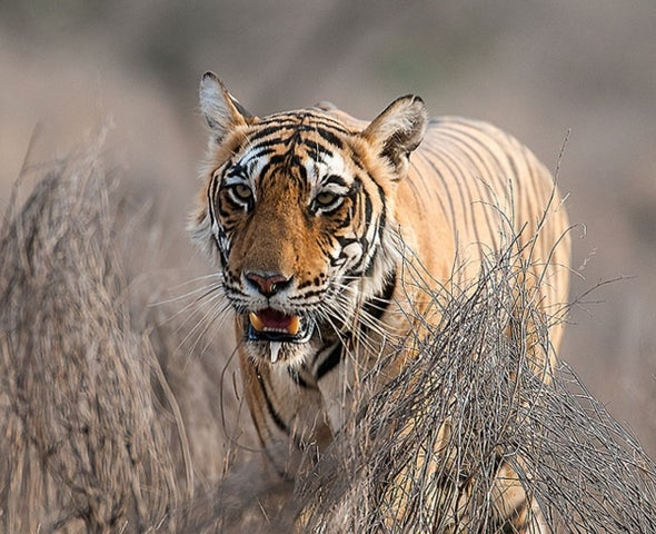 Bangladesh Has 75 Percent Fewer Tigers Than Expected