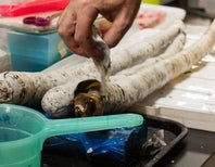 The Giant Shipworm, Revealed at Last [Video]