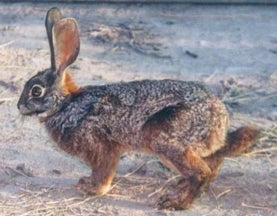 New Population of Critically Endangered Rabbits Found in (of All Places) a Nature Reserve