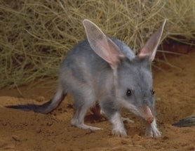Australia's Easter Bunny: the Long-Eared Greater Bilby