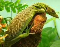 Lean, green and rarely seen: enthralling prasinoid tree monitors