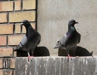 """Like All Good Stories, It Starts with Pigeons"""