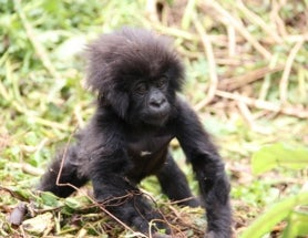 Baby Mountain Gorillas Celebrated by 40,000 People in Rwanda