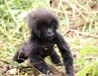 Baby Mountain Gorillas Celebrated by 40,000 People in Rwanda