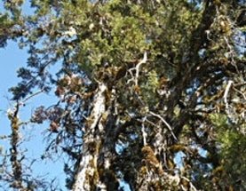 Rare Tree, Dependent on Fire, to Leave Endangered Species List
