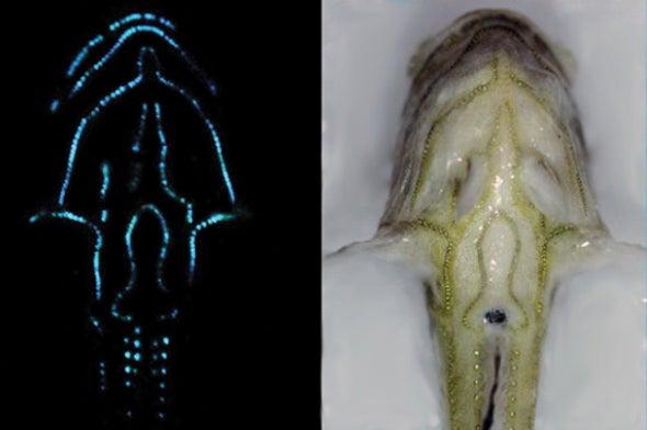 80 Percent of Open-Ocean Fish Make Light