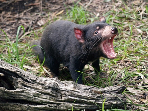 Yet Another Disease Is Attacking Tasmanian Devils