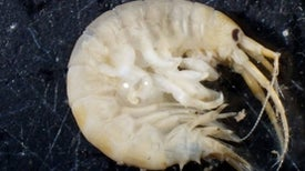 The Killer Shrimp Bullies Species into Extinction