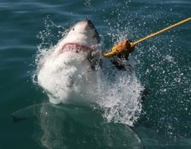 Film Fakery: Does Shark Week Harm Conservation Efforts?