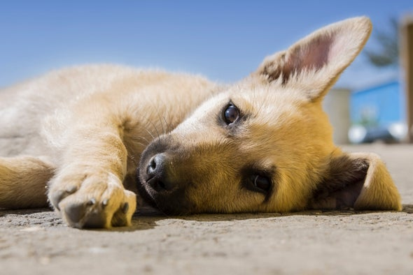 """New Research Questions """"Pawedness"""" in Dogs"""
