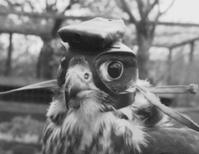 Falconcam reveals the secrets of mid-air raptor pursuit