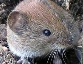 Of vole plagues and hip glands