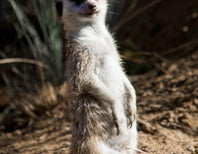 Photoblogging: Portrait of a Meerkat