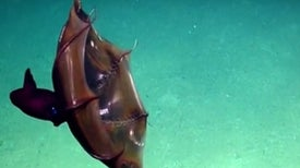 Halloween in the Deep: The Vampire Squid [Video]