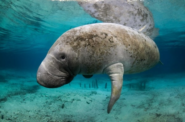 How Two Kinds of Regulation Brought Back the Manatee