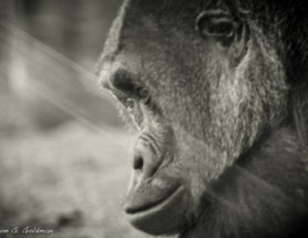 Photoblogging: Gorilla Through Glass