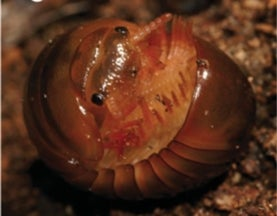 Seven New Species of Pill-Millipede Found in Madagascar
