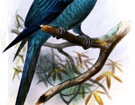 Weekend Species Snapshot: Spix's Macaw