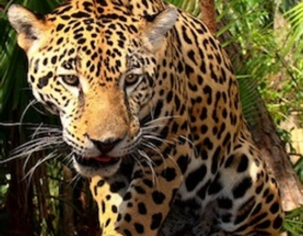 history of panthera onca Jaguar (aurora designs) or to the following hybrids: panthera onca × panthera pardus jagupard history comments share jaguar zt2 download library wiki is.