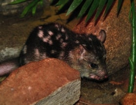 Island Sanctuary Could Save Sex-Crazed Northern Quoll