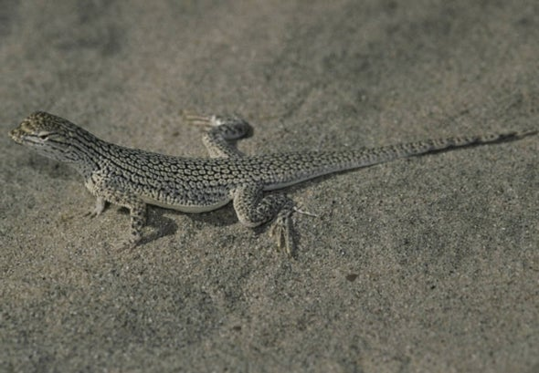From Dune to Done? Drought Caused Sudden Decline in Rare Lizard's Genetic Diversity