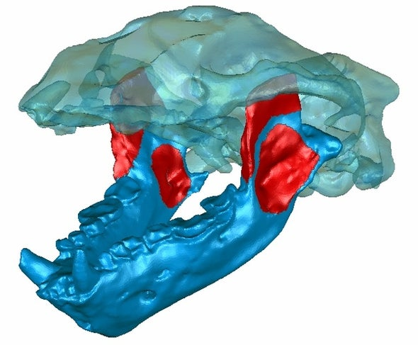 Prehistoric Mammal Bit Like a Saber Cat, Crunched Like a Bear