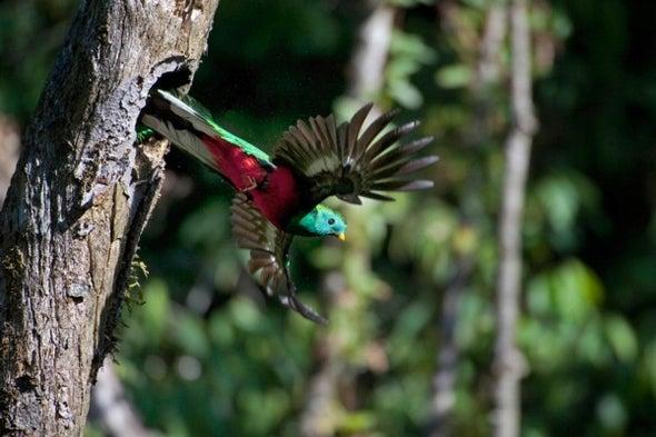 Resplendent Quetzal, Sacred Bird of Maya and Aztecs, Faces Extinction Risk