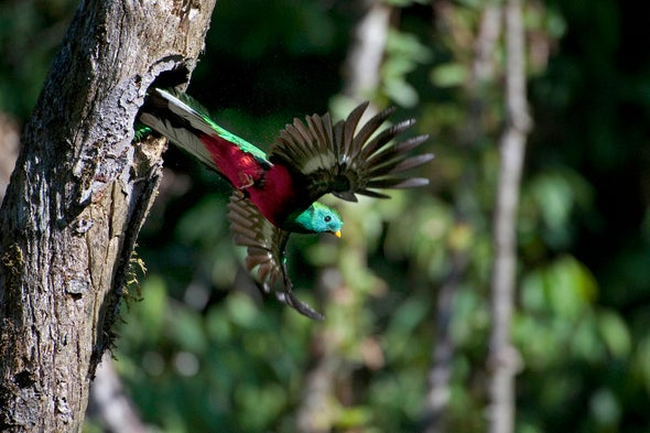 Resplendent Quetzal, Sacred Bird of Maya and Aztecs, Faces Extinction Risk